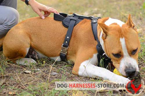Amstaff Harness for Different Training Exercises