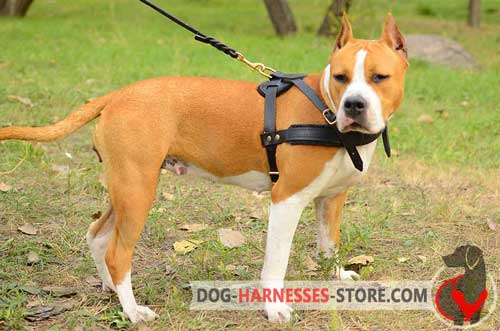Pulling Amstaff harness with padded chest strap