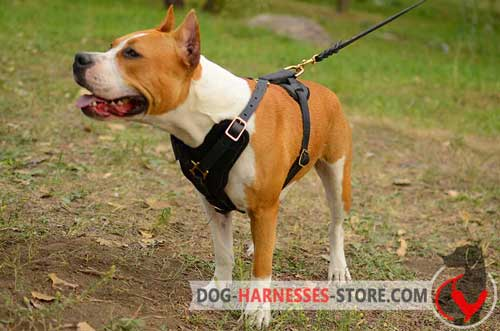 Y-shaped Amstaff harness for comfy walking
