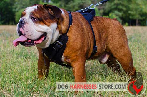 Attack English Bulldog harness easy to adjust