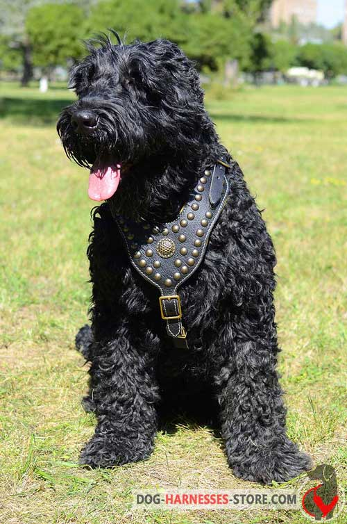 Adorned leather harness for fashion walking of Black Russian Terrier