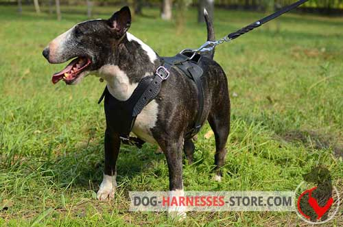 Leather English Bull Terrier harness for attack work