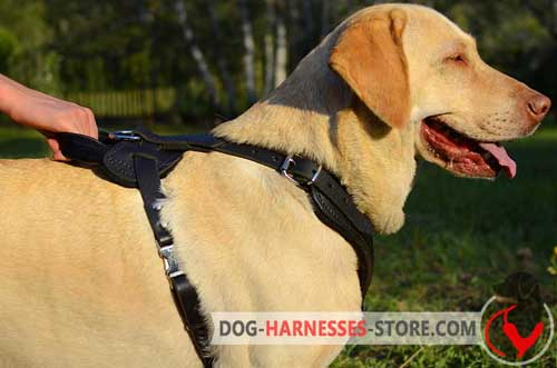 Leather Labrador Retriever harness with handle