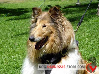 Leather Collie Harness for Walking and Tracking