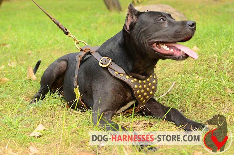 Studded Walking American Pitbull Terrier Harness H15