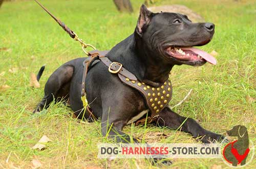 Walking American Pitbull Terrier Harness