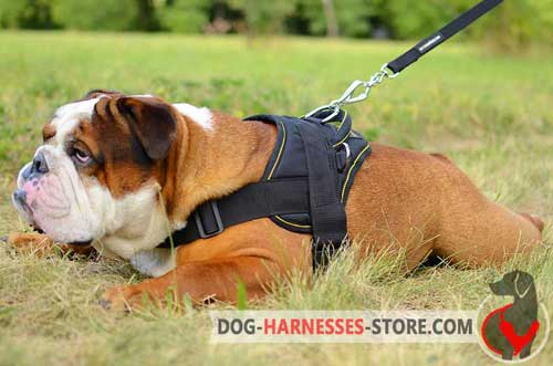 Comfortable English Bulldog Harness for Joyful Pastime