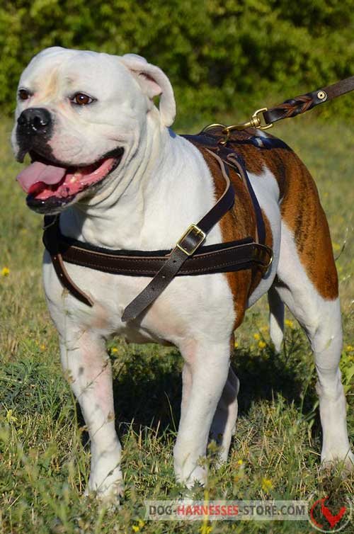 Walking American Bulldog leather harness