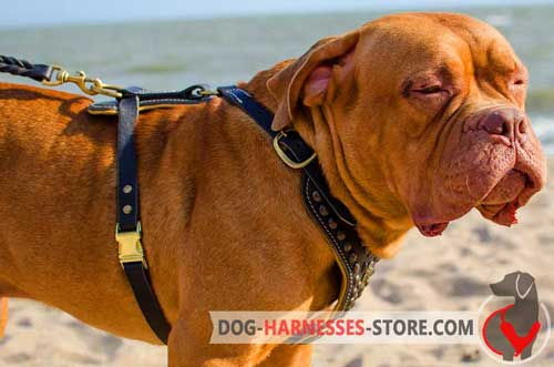 Superb design leather harness for Dogue de Bordeaux