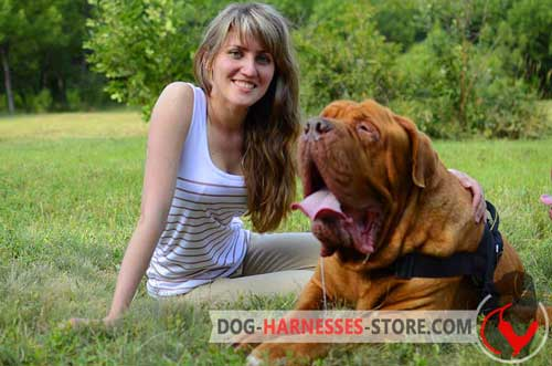 Dogue de Bordeaux harness for walking and training