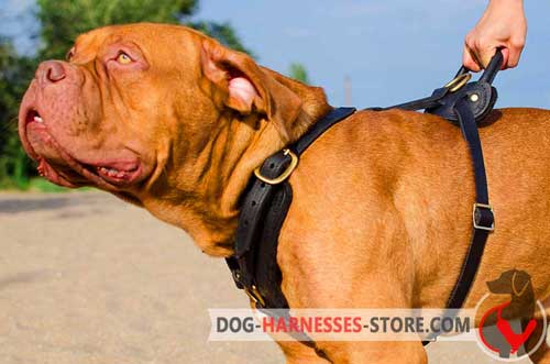 Fashionable Dogue de Bordeaux Harness for Everyday Use