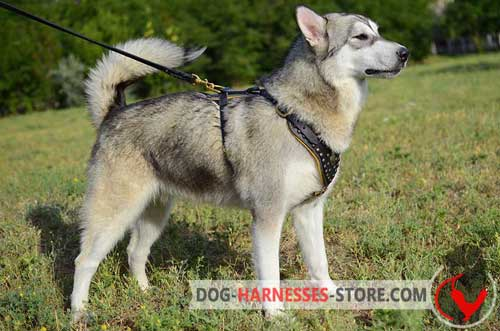 4 ways adjustable Alaskan Malamute leather harness for walking