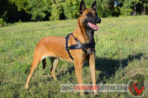 Snugly fitted pulling Belgian Malinois harness