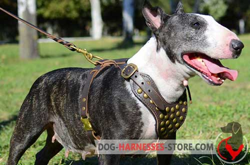 Designer leather harness for English Bull Terrier with studs