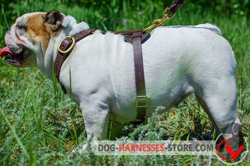 English Bulldog harness with non-restrictive design