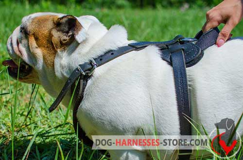 English Bulldog harness with wide leather Y-shaped chest plate