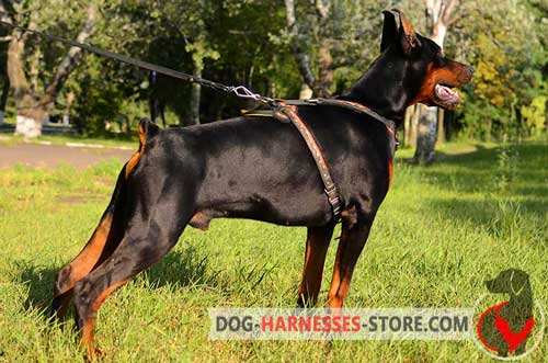 Comfortable Doberman harness