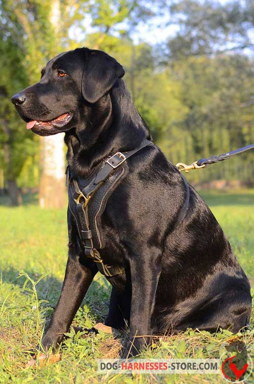 Non-stretching leather Labrador harness