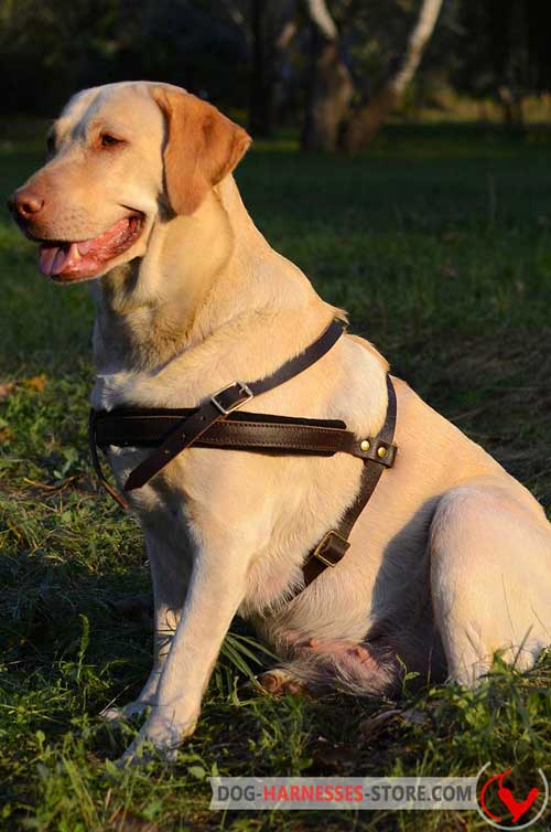 Easy adjustable Labrador harness