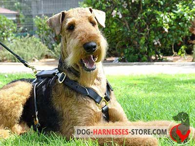 Airedale Terrier harness with non-restrictive design