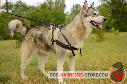 Leather Alaskan Malamute harness with soft padding