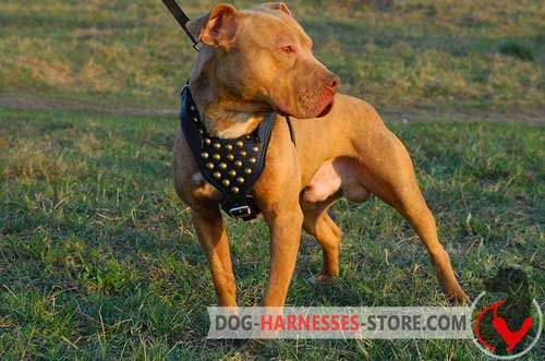 Decorated American Pitbull Terrier Harness with Y-shaped Chest Plate