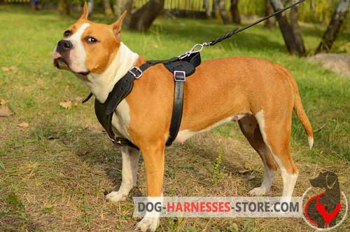 Leather Amstaff harness for snug fit