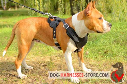 Leather Amstaff harness with Y-shaped chest plate