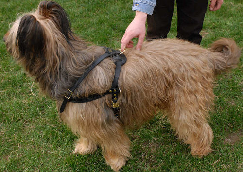 Tracking Briard Harness