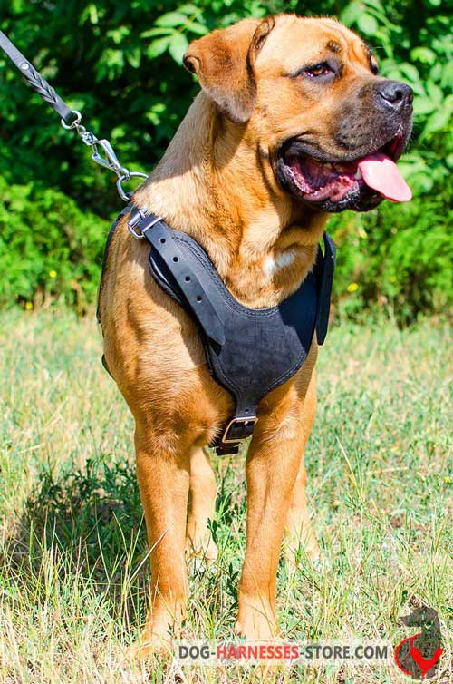 Protection Cane Corso Harness