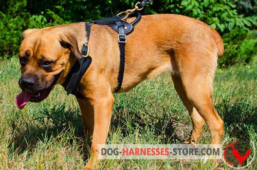 Cane Corso Harness for Pleasant Walks