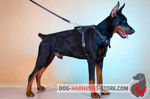 Agitation Training Leather Doberman Harness