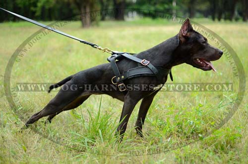 Comfortable Pulling And Tracking Leather Dog Harness