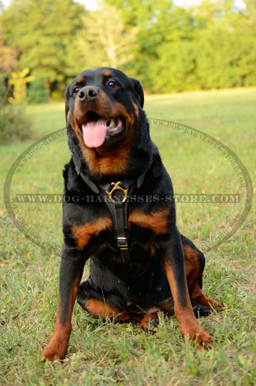 Exclusive Leather Dog Harness With Brass Fittings