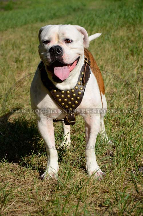 Exclusive Comfortable Leather Dog Harness With Brass  Studs