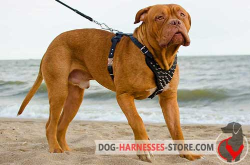 Leather Dogue de Bordeaux Harness with Spikes