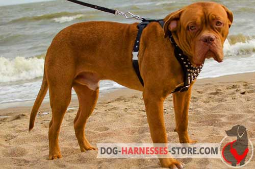 Leather Dogue de Bordeaux Harness