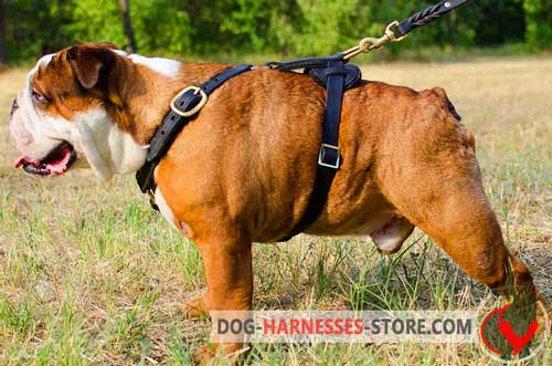 Extra strong leather dog harness for English Bulldog