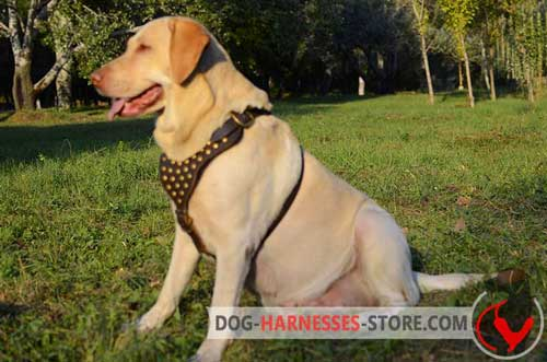 Walking Labrador Retriever Harness