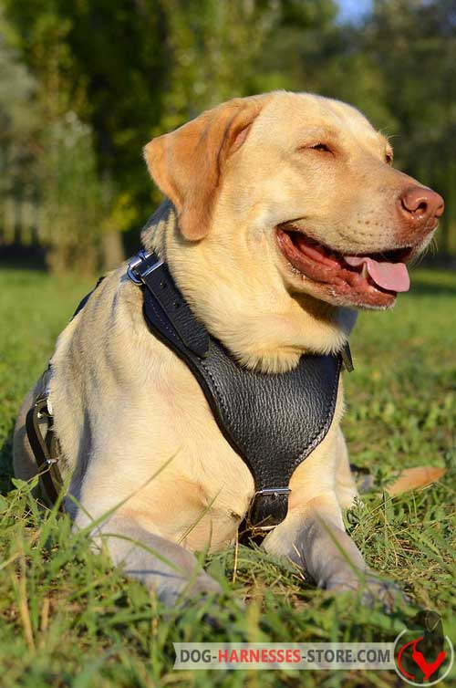 Leather Labrador Retriever dog harness with felt padded chest plate for better protection