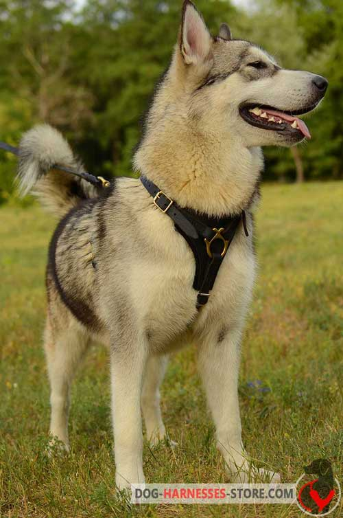 Leather Malamute Harness with Soft Felt Padded Chest Plate