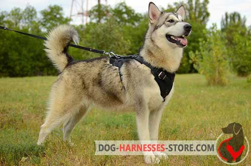 Alaskan Malamute Harness with Wide Chest Plate