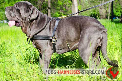 Leather Mastiff Neapolitan Harness for Pulling Work
