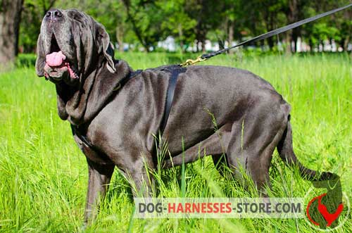 Leather Mastiff Neapolitan Harness with Comfortable Chest Plate