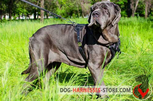 Leather Mastiff Neapolitan Harness Multifunctional with Chest Plate