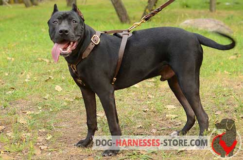 Leather Pitbull harness for tracking and walking