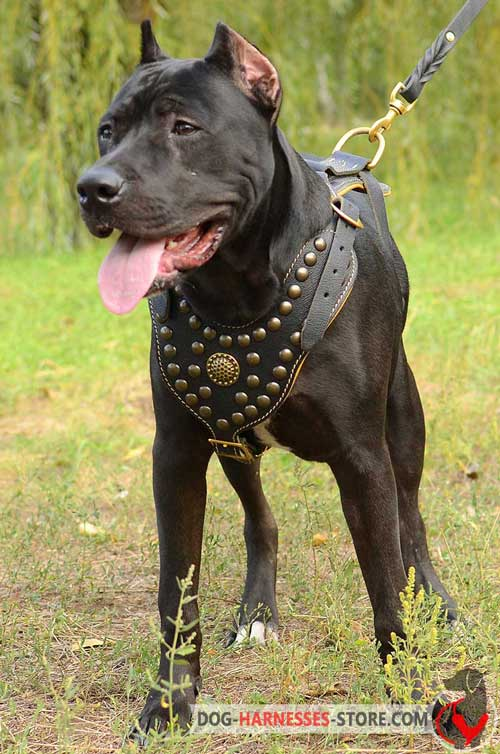 Luxury studded leather Pitbull harness