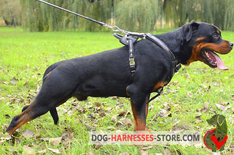 Leather Rottweiler Harness Painted with Barbed Wire BIG hand painted barbed wire leather boxer harness [h1bw 1092 leather wire dog harness at bayanpartner.co