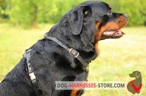 Leather Rottweiler Harness Equipped with Reliable Easy Quick Release Buckle