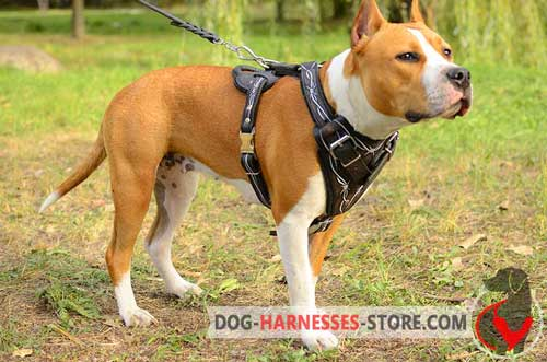 Comfortable Leather Staffordshire Terrier Harness Painted for Stylish Walking